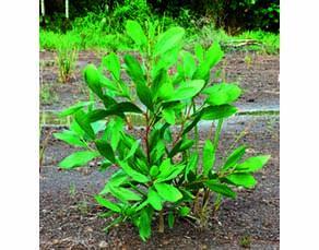 Jeune acacia