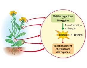 Utilisation de la matière organique pour le fonctionnement des organes