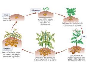Le cycle de vie de la pomme de terre