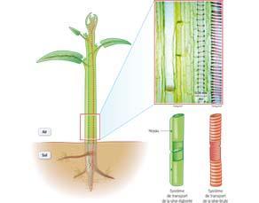 La circulation des sèves dans une plante