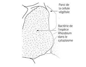 Croquis d'intreprétation du tissu végétal d'une nodosité au microscope électronique