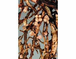 Nodosités sur les racines d'une plante