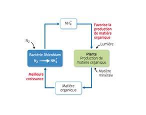 L'association entre les bactéries Rhizobium et la plante