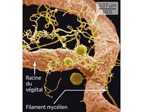 Une racine d'un végétal associée à des filaments d'un champignon