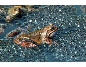 Ponte d'une grenouille rousse femelle