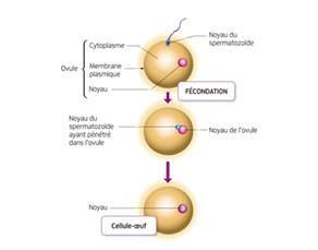 La formation de la cellule-œuf, première cellule du futur individu