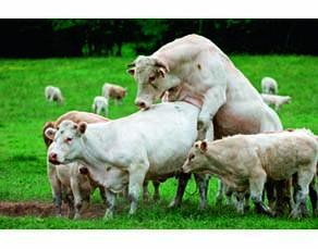 Accouplement chez la vache domestique
