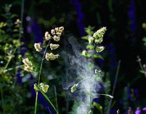 Pollen dispersé par le vent