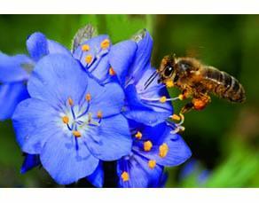 Pollen dispersé par des insectes