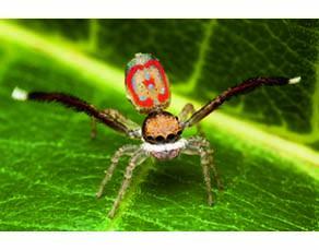Parade nuptiale de l'araignée paon