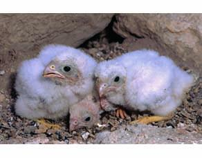 Trois jeunes faucons crécerellette dans leur nid