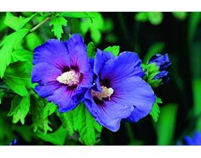 "Fleur d'hibiscus ""Blue Bird"" (bleue)"