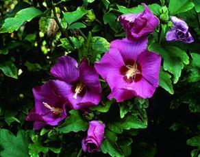 """Fleur d'hibiscus """"Woodbridge"""" (rouge)"""