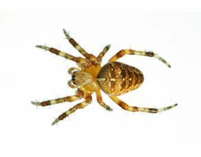 Araignée Épeire diadème