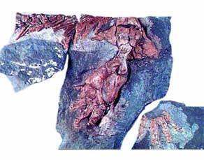 Fossile d'Ichthyostega