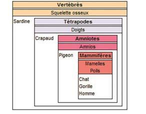Classification en groupes emboîtés des espèces de la collection Vertébrés Collège (Phylogène)