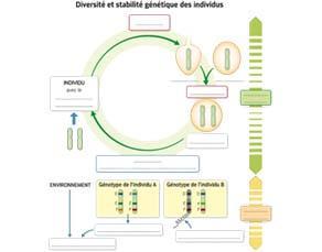 Diversité et stabilité génétique des êtres vivants - à compléter