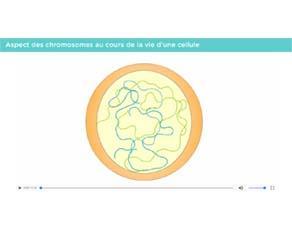 Aspect des chromosomes au cours de la vie d'une cellule