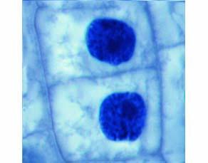Le déroulement de la mitose dans une racine d'oignon (phase 4)