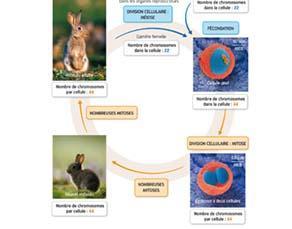 Le cycle de développement d'un lapin de garenne