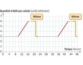 Évolution de la quantité d'ADN dans une cellule au cours du temps