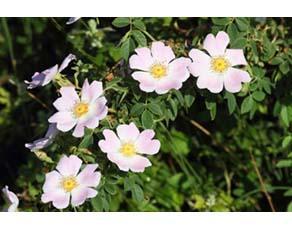 Eglantier rose obtenu par un jardinier