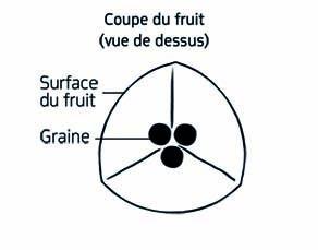Caractéristiques du fruit du pois de cœur