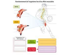 Le fonctionnement de l'organisme lors d'un effort musculaire - à compléter