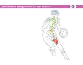 Le fonctionnement de l'organisme lors d'un effort musculaire