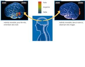 Des zones cérébrales activées par nos organes des sens