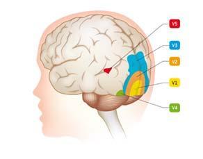 Les zones cérébrales impliquées dans la vision