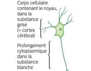 Croquis d'un neurone