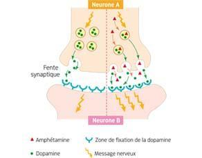 L'effet des amphétamines sur les neurones cérébraux