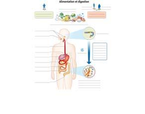 Alimentation et digestion - à compléter
