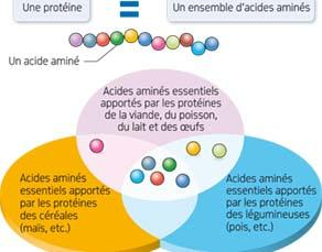 Des acides aminés essentiels à notre organisme