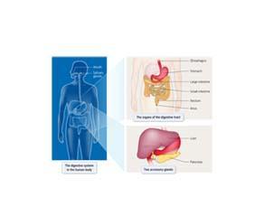 Le système digestif humain