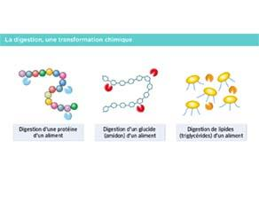 La digestion, une transformation chimique