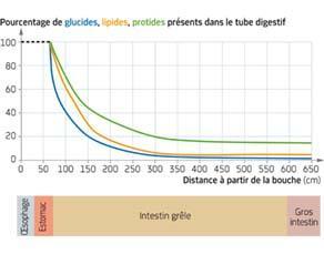 Évolution de la quantité de nutriments le long du tube digestif chez un individu en bonne santé