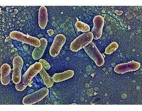Bactéries présentes sur la peau, observées au microscope