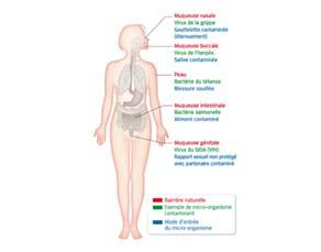 Barri res naturelles de l organisme humain svtice - Sensation de froid interieur du corps ...