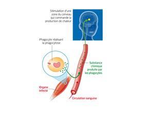 Le mécanisme de déclenchement de la fièvre