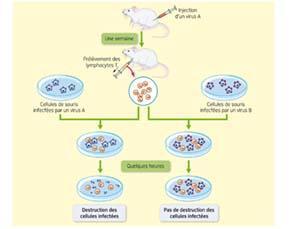 Une expérience montrant la lutte du système immunitaire contre les virus