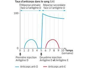 Réponses primaire et secondaire à l'injection d'un antigène