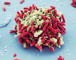 Une cellule animale entourée par des bactéries
