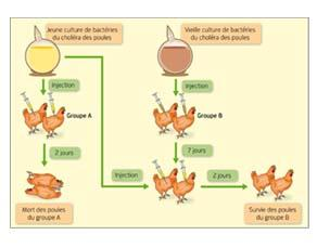 Expériences de Pasteur sur le choléra