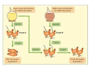 cholera de la poule