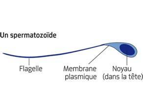 Un spermatozoïde