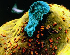 Surface d'un ovaire lors de l'ovulation