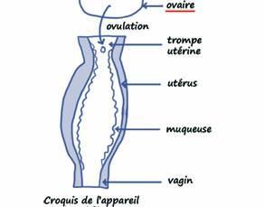 Dessin d'élève représentant l'appareil reproducteur féminin (1)