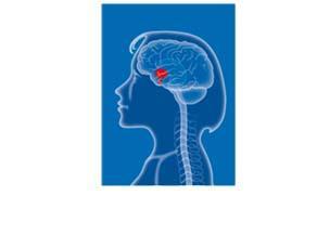 Une zone du cerveau à l'origine du contrôle de l'activité ovarienne